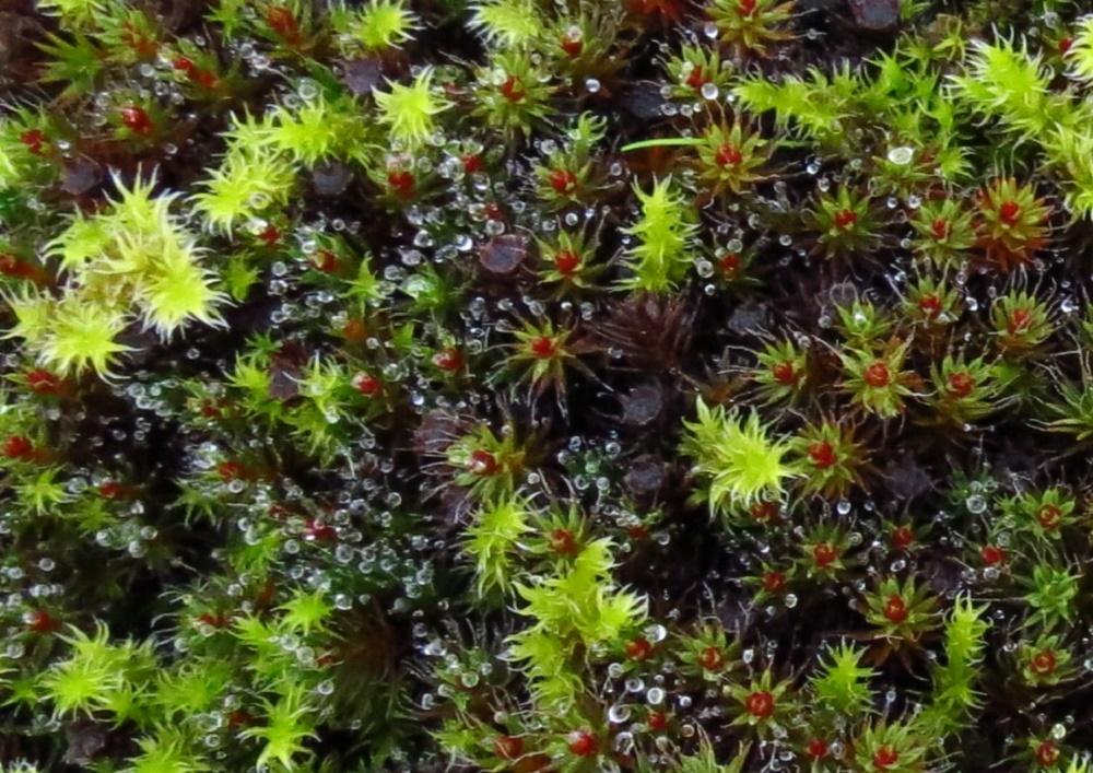 Polytrichum Juniperinum, BC Coastal Region