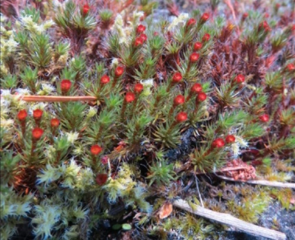 Polytrichum Piliferum, Vancouver Island, BC