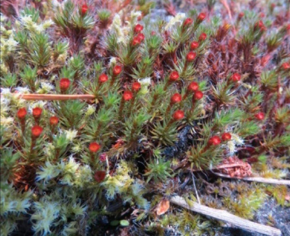 Polytrichum Piliferum, BC Coastal Region