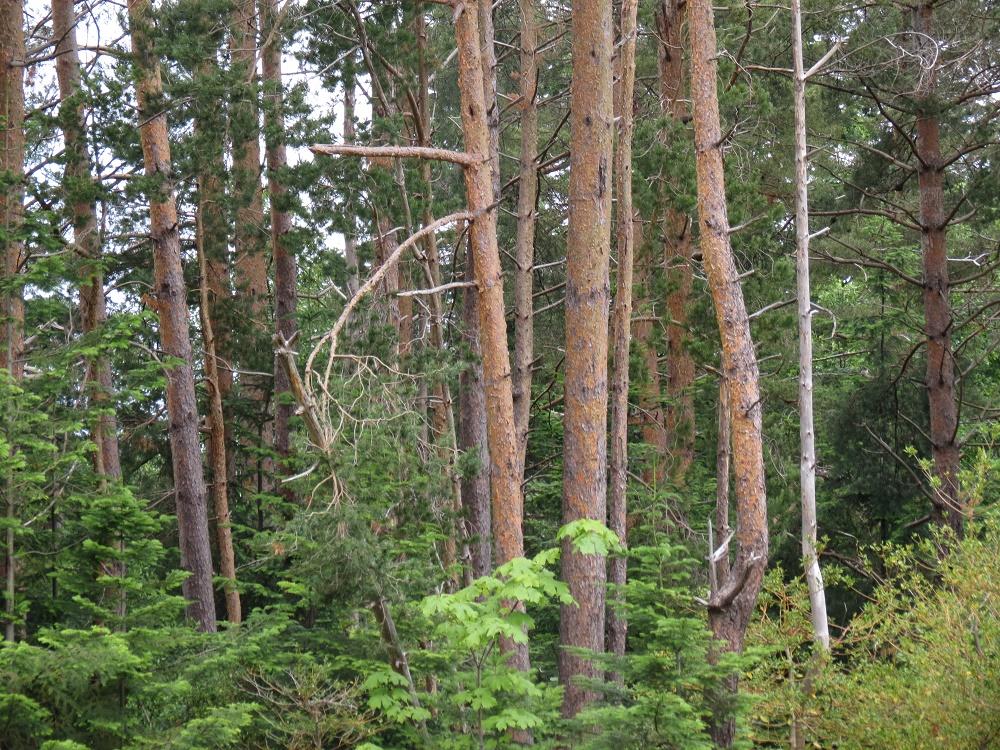 Ponderosa Pine Trees, BC Coastal Region