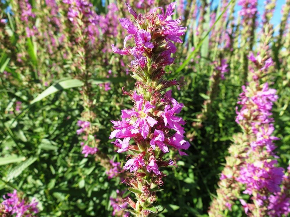 Purple Loosestrife, Pacific Northwest