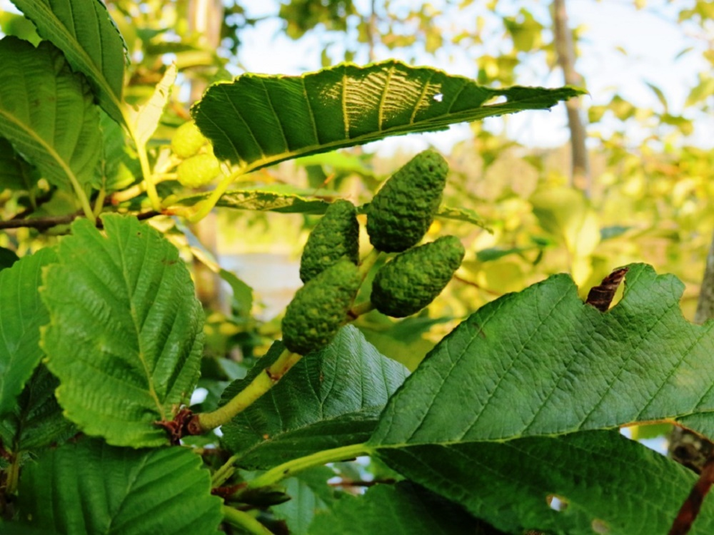 Red Alder Trees, Deciduous Trees, Trees, Pacific Northwest