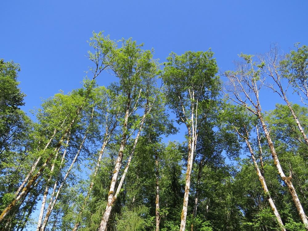 Red Alder Trees, BC Coastal Region