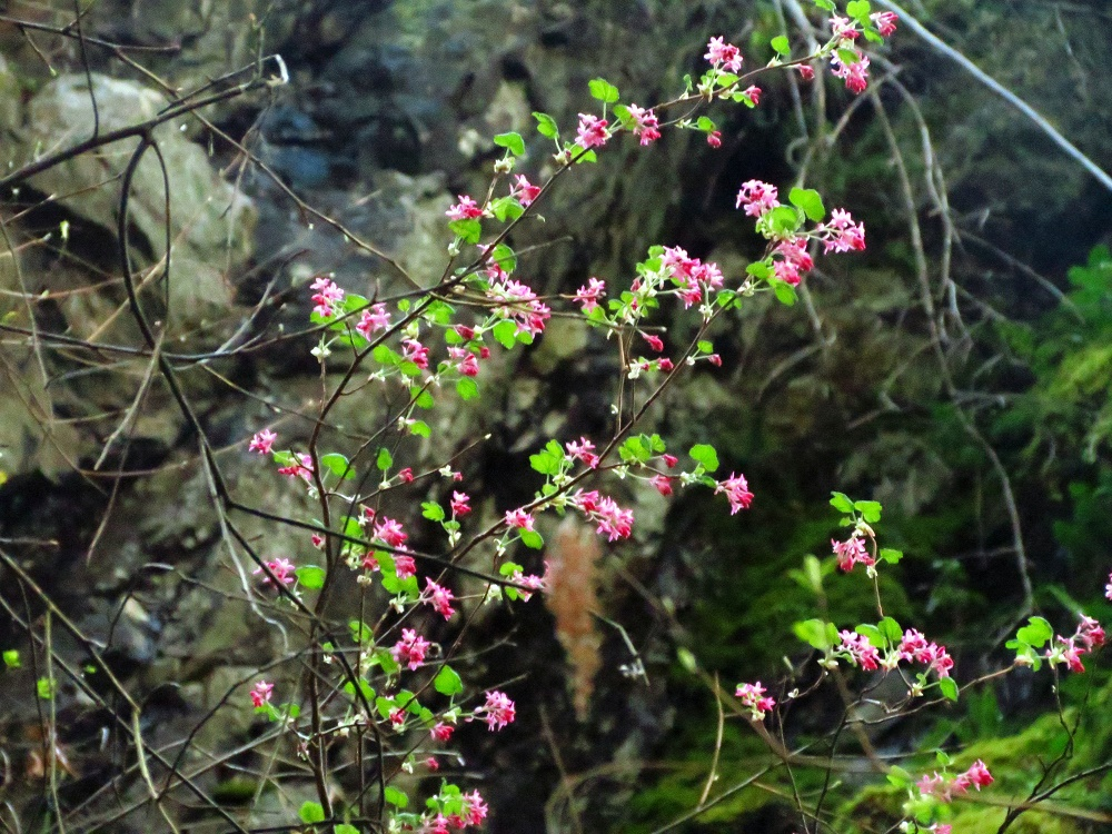Red Flowering Currant Bush, Wildflowers, Pacific Northwest