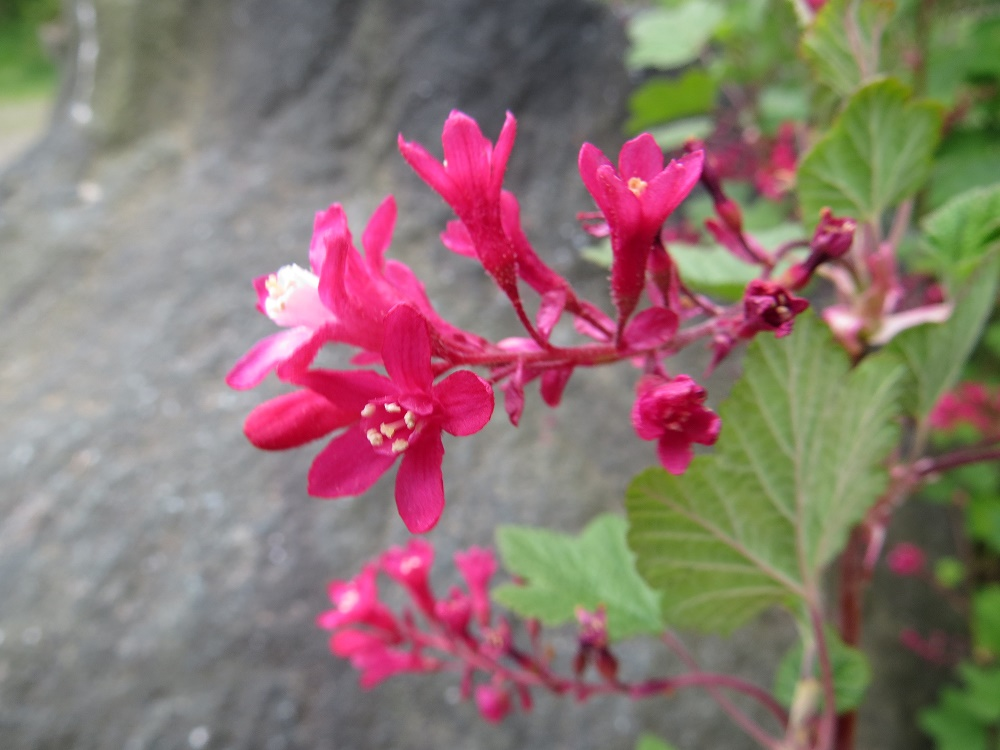 Red Flowering Currant, Vancouver Island, BC