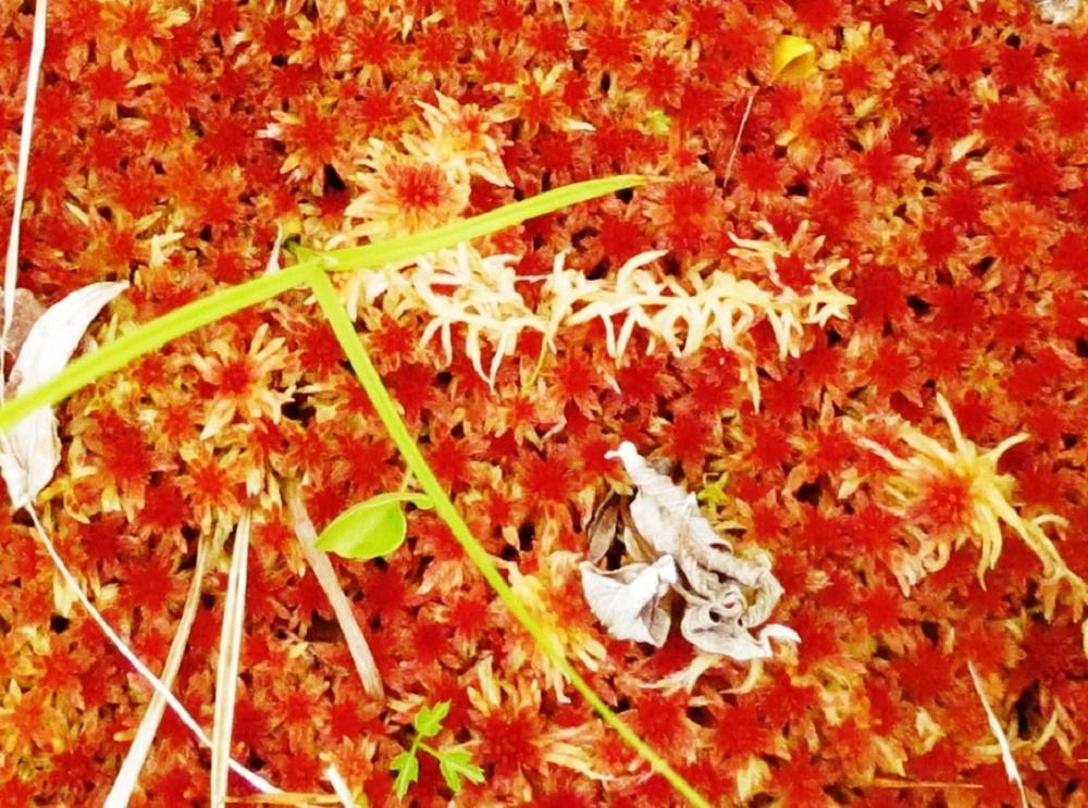 Red Sphagnum Moss, Vancouver Island, BC, BC Coastal Region