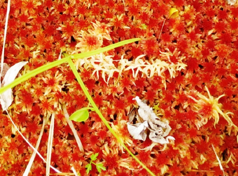 Red Sphagnum Moss, Pacific Northwest