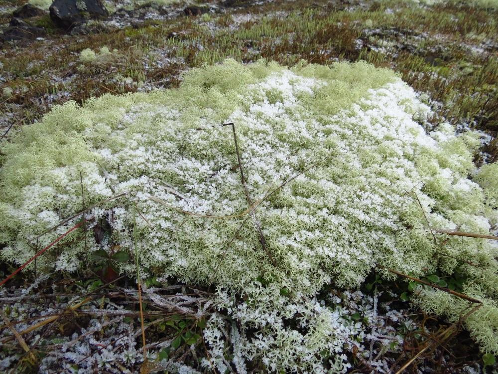 Reindeer Moss Lichen, Lichens, Pacific Northwest