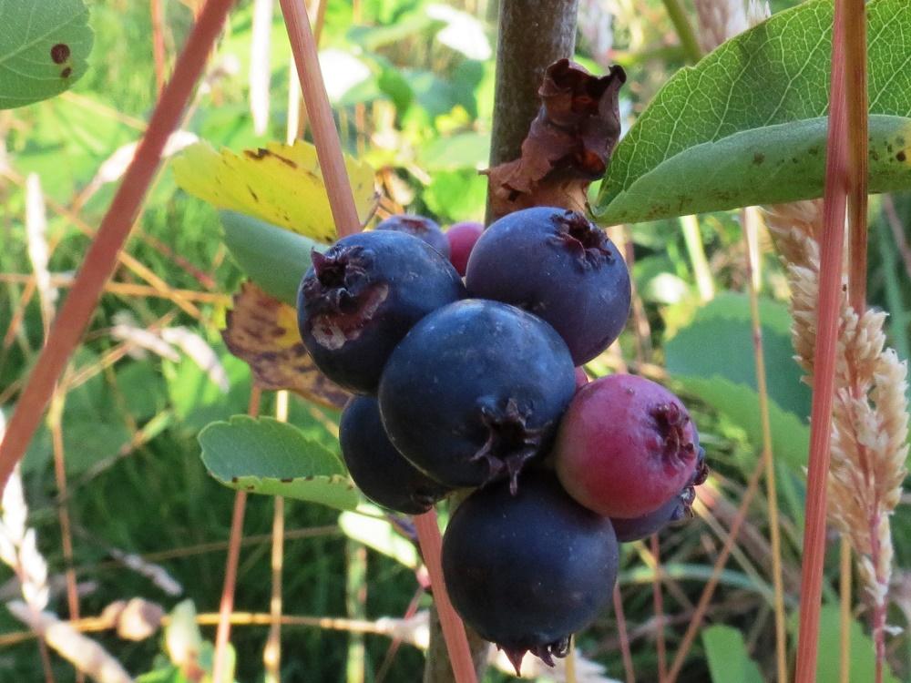 Saskatoon Berries, Pacific Northwest
