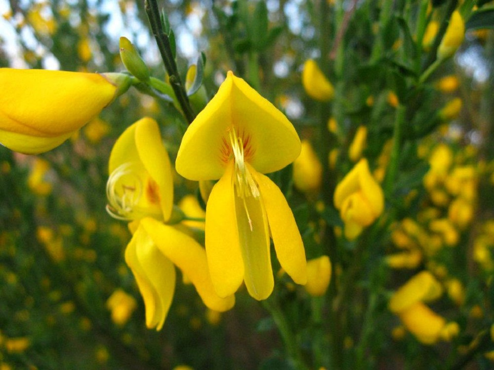 Scotch Broom, BC Coastal Region