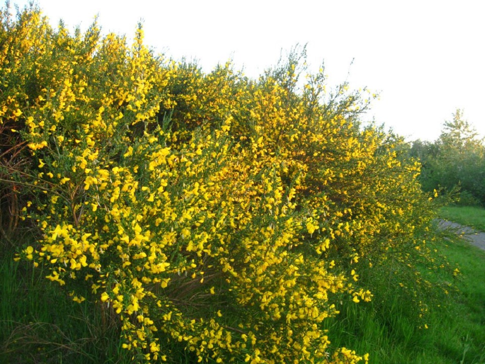 Scotch Broom, Vancouver Island, BC