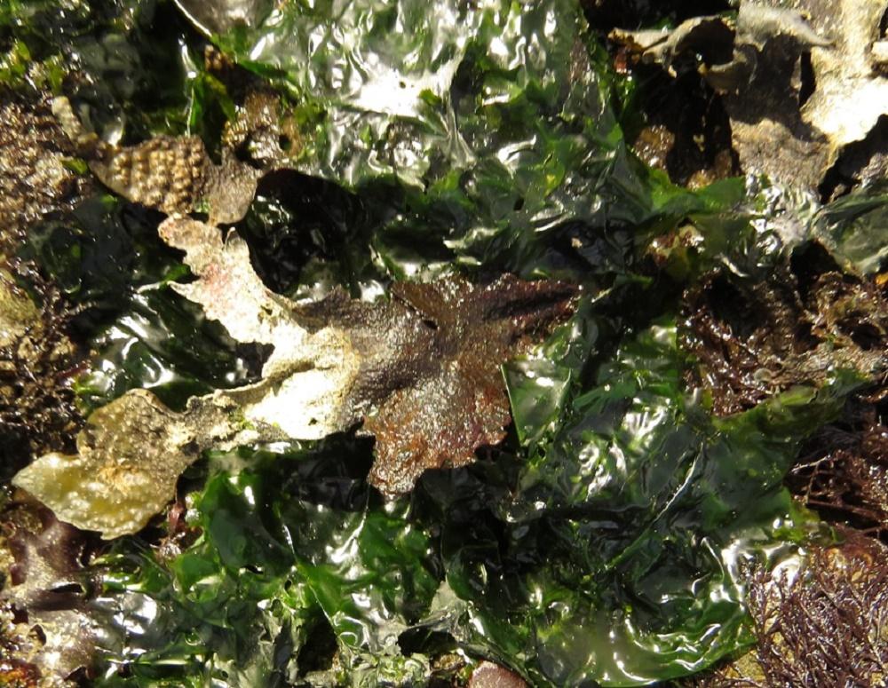 Sea Lettuce, BC Coastal Region