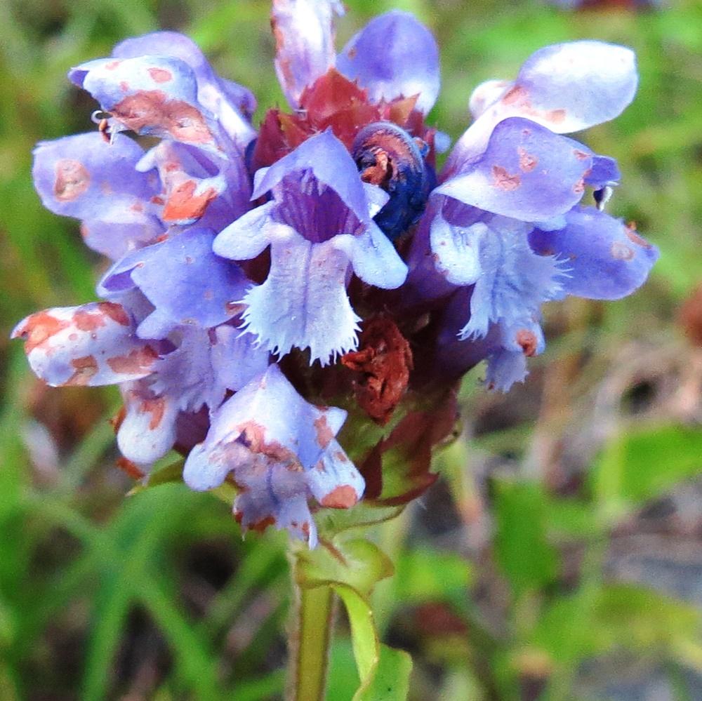 Self Heal, Medicinal Plants, Vancouver Island, BC