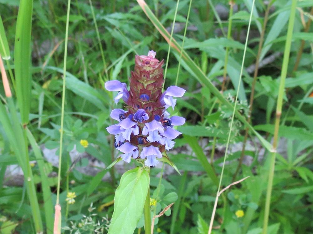 Self Heal Flower, Wildflowers, Pacific Northwest