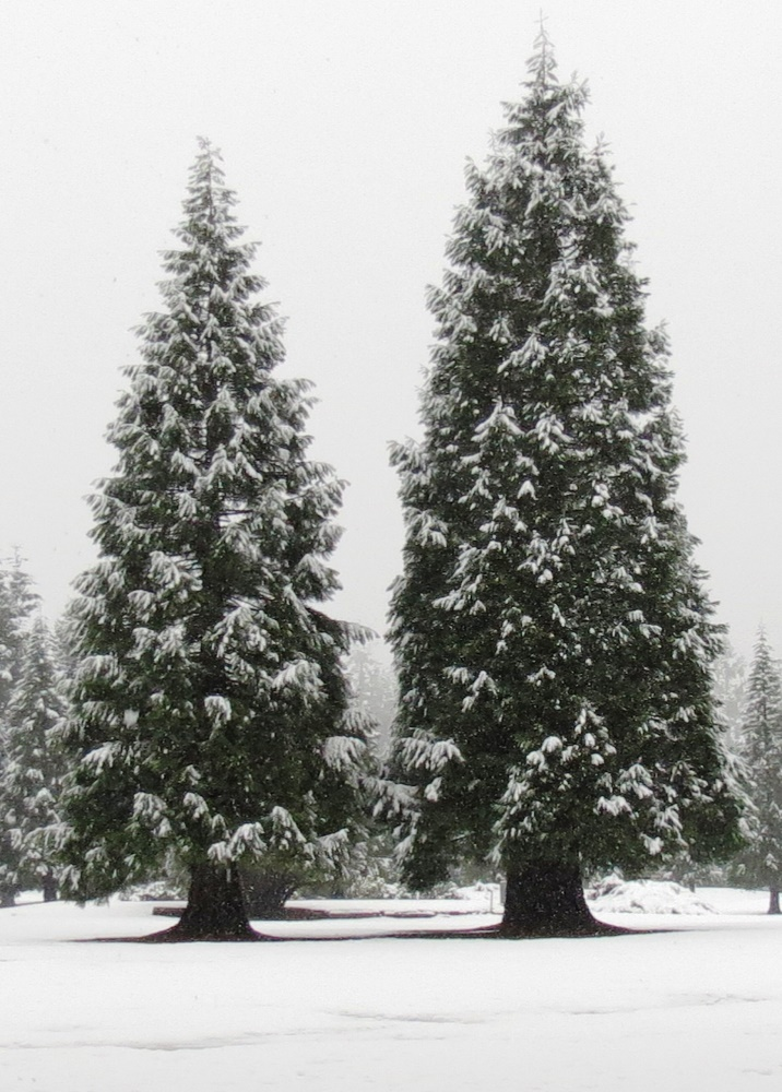 Sequoia Trees, BC Coastal Region