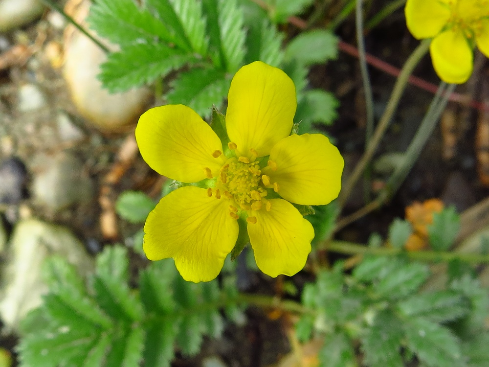 Silverweed, Pacific Northwest