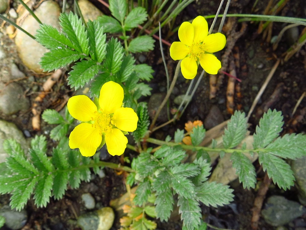 Silverweed, Vancouver Island, BC