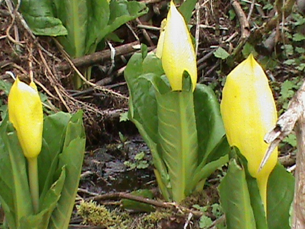 Skunk Cabbage flower, BC Coastal Region