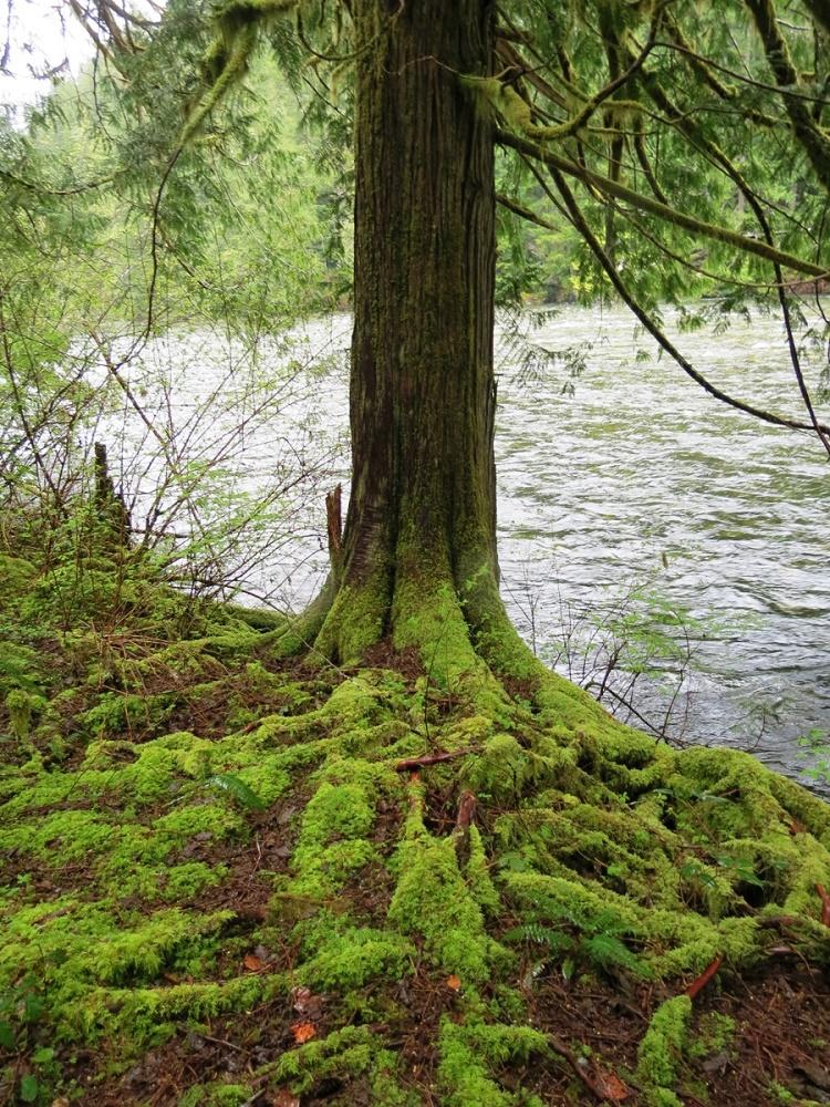 Sphagnum Moss, BC Coastal Region