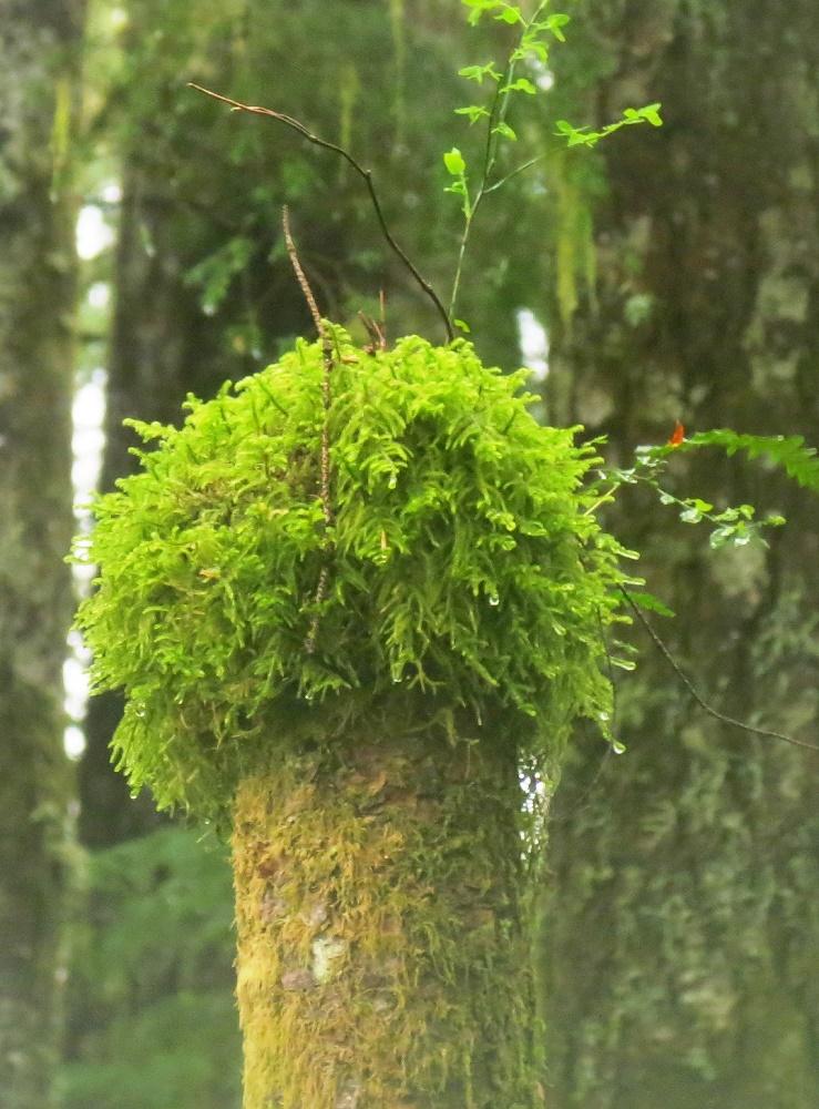 Sphagnum Moss, Pacific Northwest