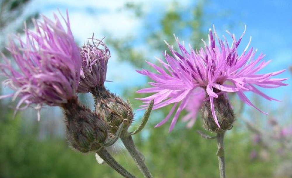 Spotted Knapweed, Vancouver Island, BC
