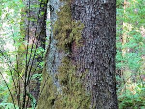 Spruce Bark, BC Coastal Region
