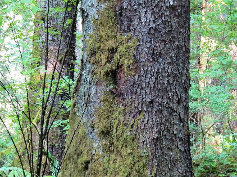 Spruce Bark, BC Coastal Region