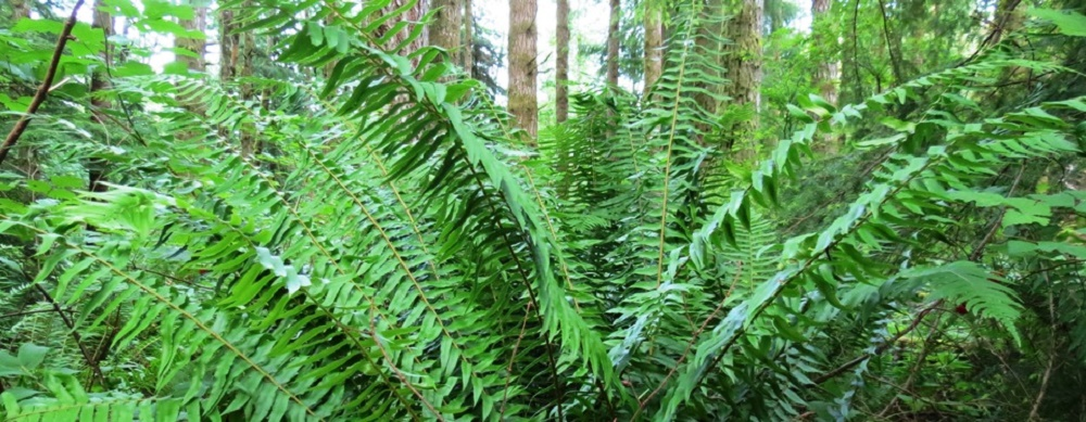 Sword Ferns, BC Coastal Region