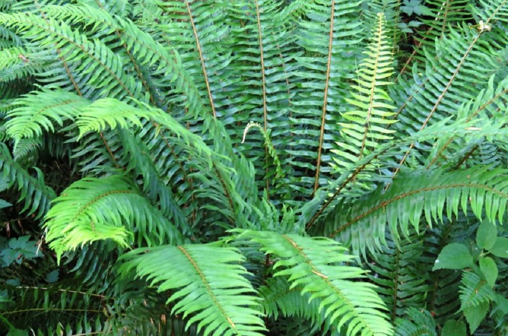 Sword Ferns, Wildflowers, Pacific Northwest