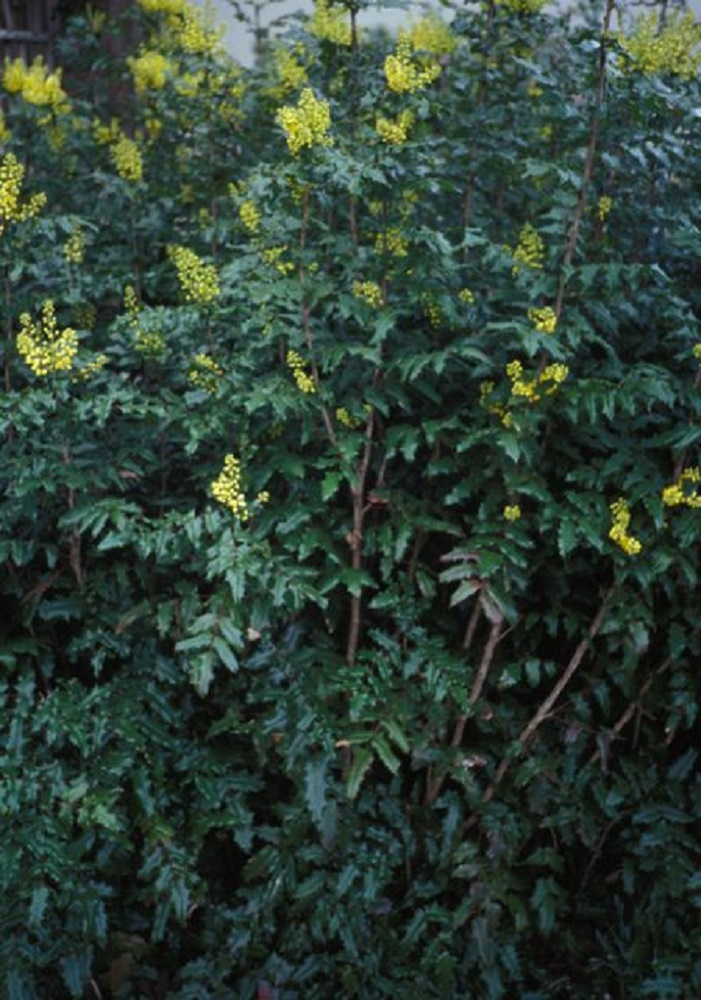 Tall Oregon Grape Plant, BC Coastal Region
