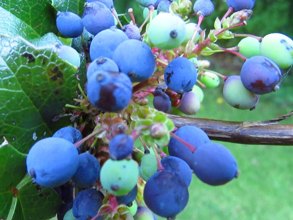 Tall Oregon Grape Plant, BC Coastal Region