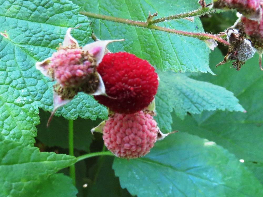Thimbleberries, BC Coastal Region