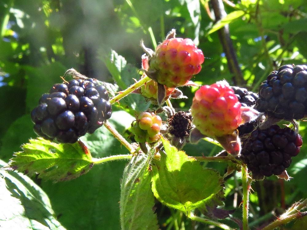 Trailing Blackberries, BC Coastal Region