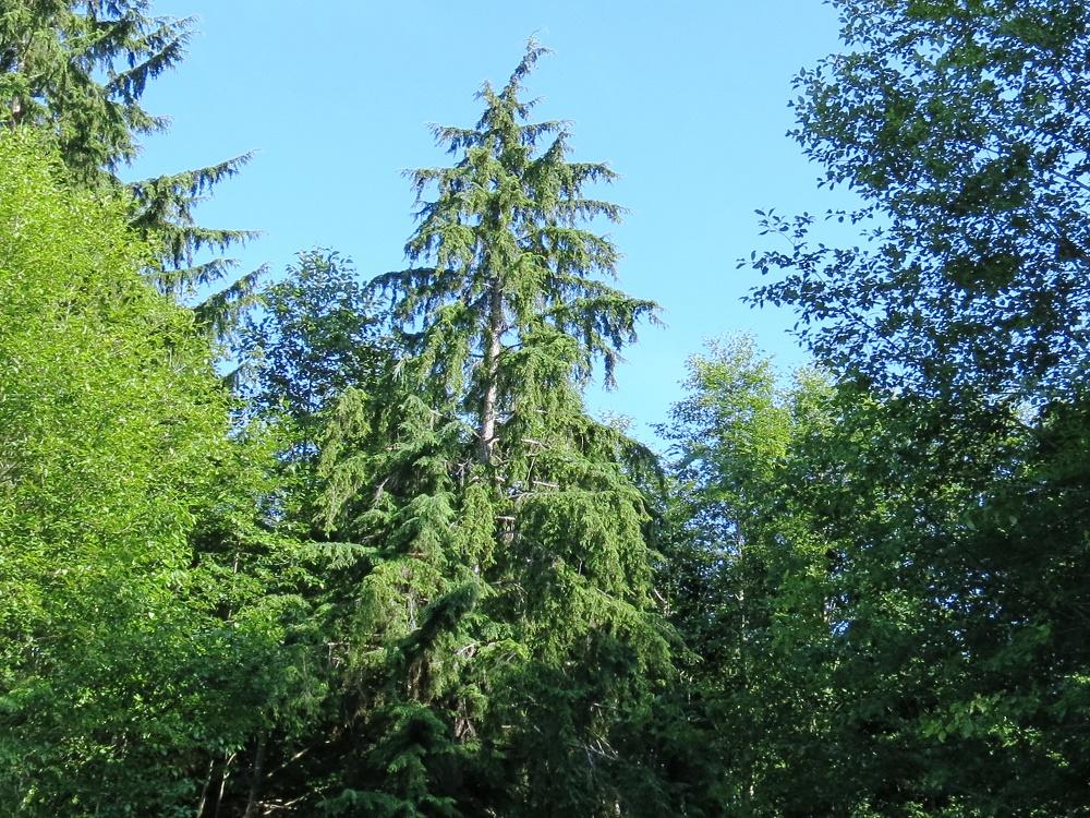 Western Hemlock Trees, BC Coastal Region