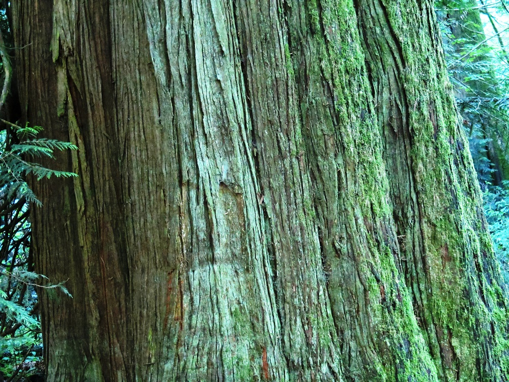 Red Cedar Tree, Vancouver Island, BC