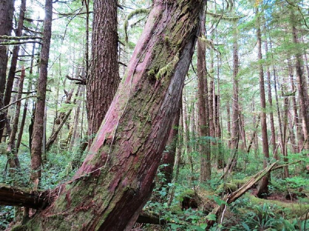 Western Yew Trees, BC Coastal Region