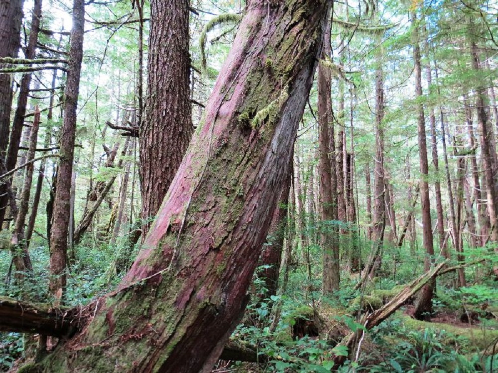Western Yew Trees, Coniferous Trees, Trees, Pacific Northwest