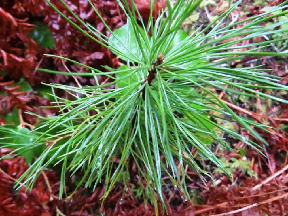 White Pine Trees, BC Coastal Region