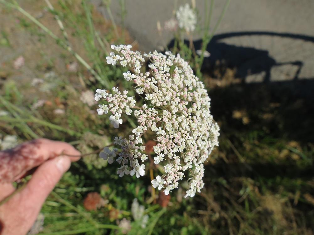 Wild Carrot Plant, BC Coastal Region