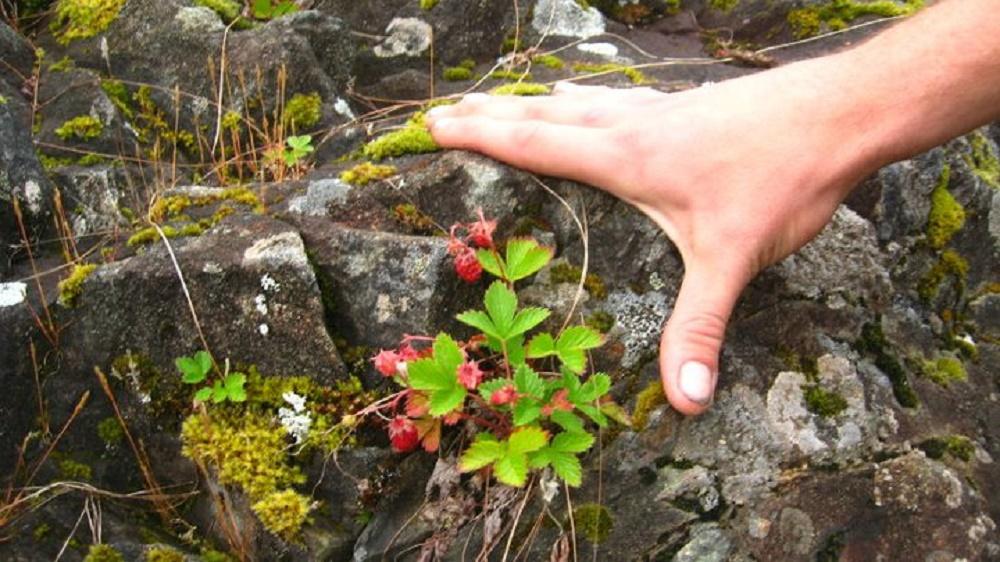 Wild Strawberries, BC Coastal Region