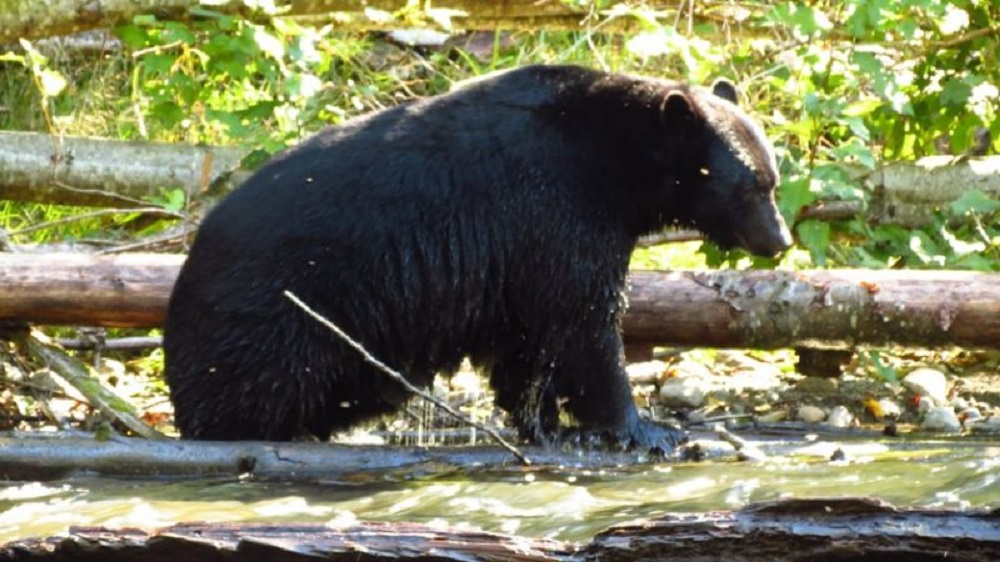 Black Bear, Caves, Pacific Northwest