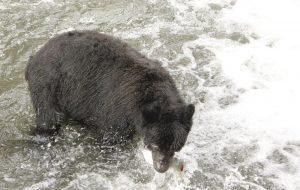 Black Bear, Tahsis, Vancouver Island, BC, Coastal Region