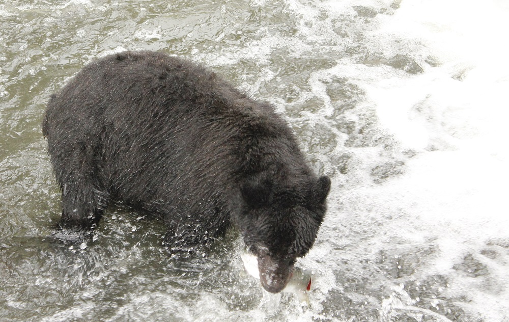Black Bear, Tahsis, Vancouver Island Communities, Pacific Northwest