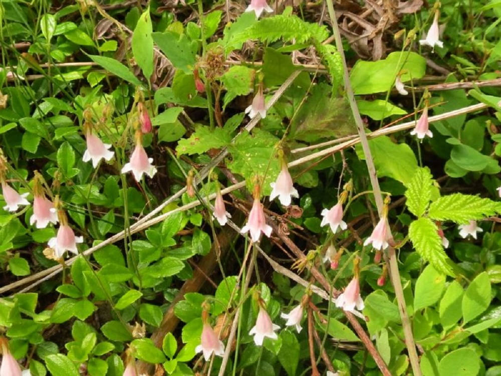Twinflower, Wildflowers, Pacific Northwest
