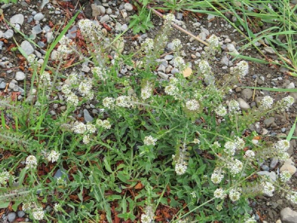 Western Peppergrass, BC Coastal Region