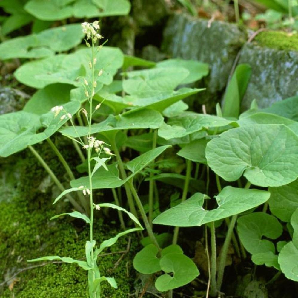 Wild Ginger Flower, BC Coastal Region