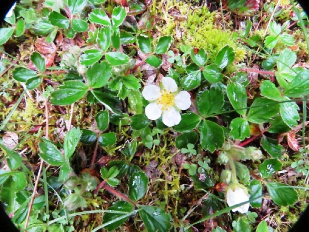 Woodland Strawberry Plant, Wildflowers, Pacific Northwest
