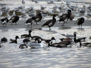 Black Brant Geese, Qualicum Beach Vancouver Island, BC, Coastal Region