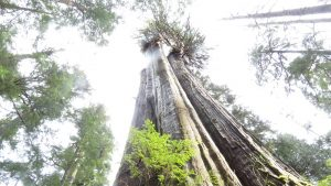 Carmanah Walbran Giant Cedar, Vancouver Island, BC