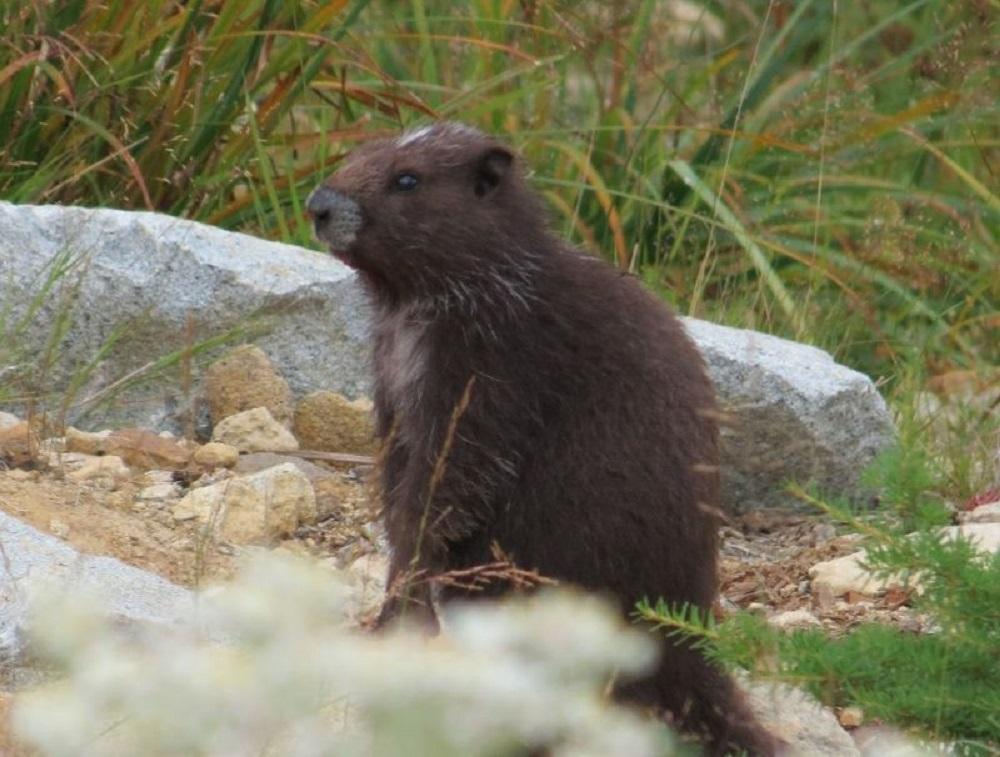 Vancouver Island Marmot, Vancouver Island, Pacific Northwest